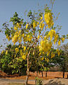 Cassia fistula with flowers.jpg