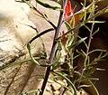 Castilleja linariifolia 7.jpg