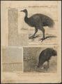 Casuarius bennettii - 1864 - Print - Iconographia Zoologica - Special Collections University of Amsterdam - UBA01 IZ18900074.tif