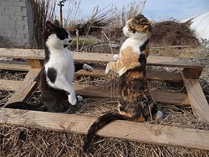 Territory (animal) - Two domestic cats posturing during ritualised aggression over a territory