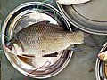 Catla fish displayed for sale at Boiddar Bazar, Sonargaon.jpg