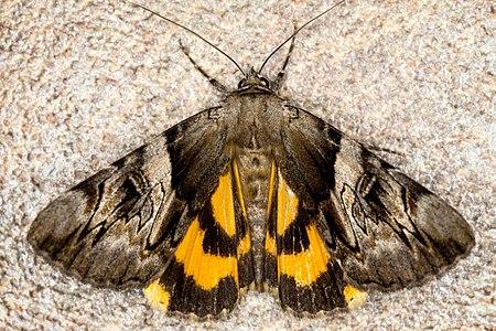 Catocala fulminea, Lodz(Poland)01(js).jpg