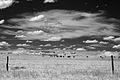 Cattle (5758614150).jpg