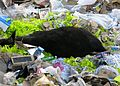 Cattle died from plastic.jpg