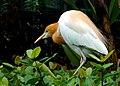 Cattle egret (9312218640).jpg