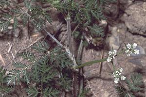 Caucalis - Image: Caucalis platycarpos 1 e F