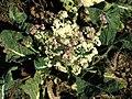 Cauliflower past its best - geograph.org.uk - 584753.jpg