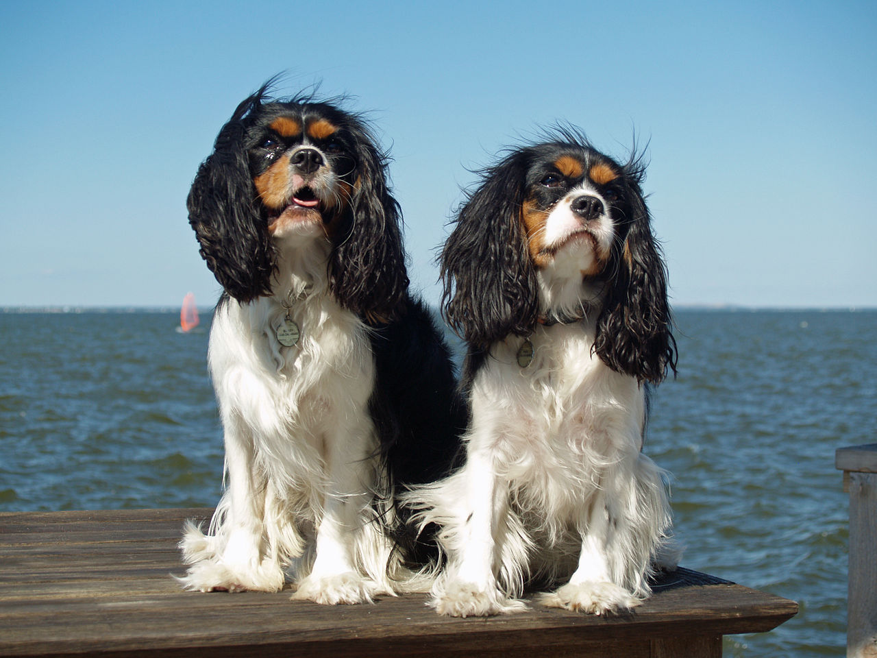 """""""Two dogs with long ears sit on a wooden platform overlooking the sea. They are mostly white, but have black ears and black and brown markings on their faces. Their fur is ruffled by the breeze."""""""