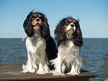 """Two dogs with long ears sit on a wooden platform overlooking the sea. They are mostly white, but have black ears and black and brown markings on their faces. Their fur is ruffled by the breeze."""