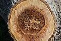 Cavités dans des bûches de peuplier blanc (54).JPG