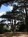 Cedar of Lebanon, Clumber Park - geograph.org.uk - 1206506.jpg