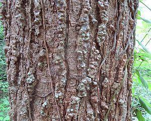 Cedrela odorata - Close-up of the trunk