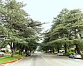Cedrus deodara along White Oak Ave at Tribune St in Granada Hills 2014.jpg