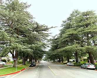 Granada Hills, Los Angeles - Deodar trees on White Oak Ave.