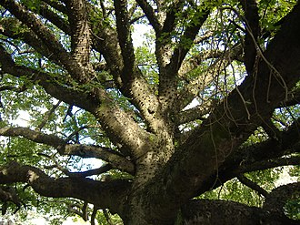 Buenos Aires Botanical Garden - Chorisia speciosa (Palo Borracho), also called floss silk tree