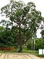 Ceiba speciosa - Paineirarosa4.jpg