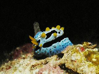 <i>Phyllidia coelestis</i> species of mollusc