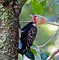 Celeus flavescens -Horto Florestal, Sao Paulo, Brazil -male-8.jpg