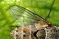 Ceranthia.lichtwardtiana.wing.detail.jpg