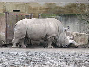 Dvůr Králové Zoo - White Rhino