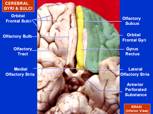 Orbital gyri - Human brain bottom view. Orbital gyri shown in green.