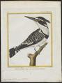 Ceryle rudis - 1700-1880 - Print - Iconographia Zoologica - Special Collections University of Amsterdam - UBA01 IZ16800237.tif