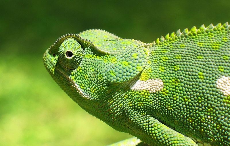 http://upload.wikimedia.org/wikipedia/commons/thumb/d/dd/Chameleon_2006-01_cropped.jpg/800px-Chameleon_2006-01_cropped.jpg