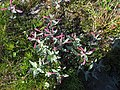 Chamerion latifolium upernavik kujalleq 2007-07-25 2.jpg