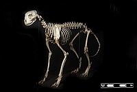 Skelet van een cheetah