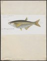 Chela megalolepis - 1863 - Print - Iconographia Zoologica - Special Collections University of Amsterdam - UBA01 IZ15000166.tif