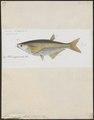 Chela megalolepis - 1863 - Print - Iconographia Zoologica - Special Collections University of Amsterdam - UBA01 IZ15000166.tif