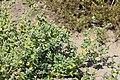 Chenopodium vulvaria plant (4).JPG