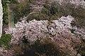 Cherry Blossom - panoramio - HiroYamaz.jpg