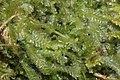 Chiloscyphus pallescens (b, 144647-474750) 9590.JPG