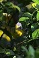 Chipe de Magnolia, Magnolia Warbler, Dendroica magnolia (11915696514).jpg