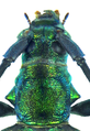 Chloridolum spec. (Laos 7a) (8352149303).png