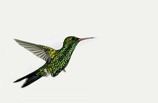 Canivets emerald species of bird