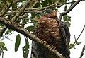 Chondroierax uncinatus (Caracolero selvático) - Flickr - Alejandro Bayer (6).jpg