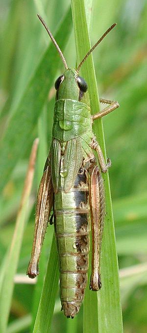Chorthippus parallelus - Female Chorthippus parallelus showing short wing cases of the female.
