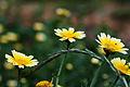 Chrysanthemum coronarium flowers.jpg