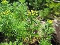 Chrysanthemum rupestre 1.JPG