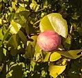 Chrysobalanus icaco (Chrysobalanaceae) 02.jpg