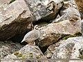 Chukar Partridge (Alectoris chukar) (48028055897).jpg