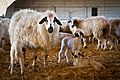 Churra ewes and lambs in Segovia.jpg