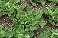 Cichorium endivia - Botanischer Garten Mainz IMG 5452.JPG
