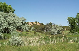 Elaeagnus angustifolia - Russian olive (silver foliage) invading a rare cienega in New Mexico, United States