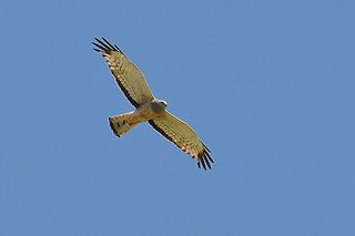 Cinereous harrier Species of bird