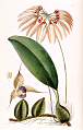 Cirrhopetalum thouarsii by Sarah Ann Drake. Edwards's Botanical Register vol. 24, t. 11 (1838).tiff