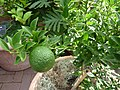 Citrus aurantium var. myritifolia 'Chinotto' - Sour orange.jpg