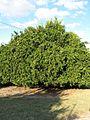 Citrus reticulata-Cleopatra IMG 5601.jpg